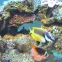 saltwater fish - siganus vulpinus - foxface lo stocking in 95 gallons tank - Foxface & Clownfish