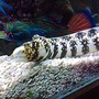 saltwater fish - echidna nebulosa - snowflake eel stocking in 185 gallons tank - My new addition
