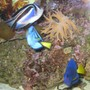 saltwater fish - paracanthurus hepatus - blue tang stocking in 125 gallons tank - My bellus angelfish, purple tang and hepatus tang, coexisting peacefully