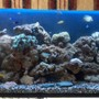 saltwater fish - chrysiptera parasema - yellowtail damselfish stocking in 60 gallons tank - 70 gal 1 month old set-up
