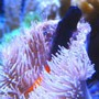 saltwater fish - ecsenius bicolor - bicolor blenny stocking in 46 gallons tank - Blenny