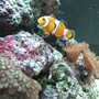 saltwater fish - amphiprion percula - true percula clownfish stocking in 30 gallons tank - 75 l nano with 2 clownfish 1 hawkfish some mushies