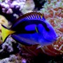 saltwater fish - paracanthurus hepatus var. - yellow belly regal blue tang stocking in 125 gallons tank - Blue Tang