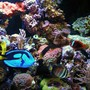 saltwater fish - paracanthurus hepatus - blue tang stocking in 150 gallons tank - Band Of Brothers