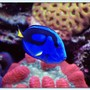 saltwater fish - paracanthurus hepatus - blue tang stocking in 125 gallons tank - Blue Tang