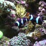 saltwater fish - amphiprion ocellaris var. - black and white ocellaris clownfish stocking in 65 gallons tank - Black Ocellaris