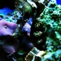 saltwater fish - hippocampus erectus - black seahorse stocking in 40 gallons tank - seahorse
