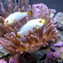 saltwater fish - maine blizzard clown stocking in 28 gallons tank - maine blizzard clowns (platinum variant)