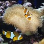 saltwater fish - amphiprion percula - true percula clownfish stocking in 39 gallons tank - Clown Fish
