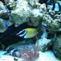 saltwater fish - siganus vulpinus - foxface lo stocking in 150 gallons tank - foxface lo