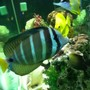 saltwater fish - zebrasoma veliferum - sailfin tang stocking in 150 gallons tank - sailfin tang
