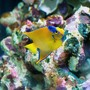 saltwater fish - holacanthus ciliaris - queen angelfish stocking in 150 gallons tank - Queen Angel with YT