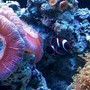 saltwater fish - premnas biaculeatus - maroon clownfish stocking in 65 gallons tank - NEMO MY MAROON CLOWN AS A BABY OPEN RED BRAIN
