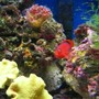 saltwater fish - neocirrhitus armatus - flame hawkfish stocking in 46 gallons tank - flame hawk