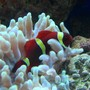saltwater fish - premnas biaculeatus - yellowstripe maroon clownfish stocking in 46 gallons tank - clown and his home