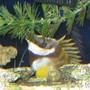 saltwater fish - siganus vulpinus - foxface lo stocking in 38 gallons tank - tank 1 foxface rabbit fish scared and hiding behind rock and plant