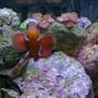 saltwater fish - premnas biaculeatus - maroon clownfish stocking in 29 gallons tank - Female White Stripe maroonclown
