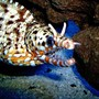 saltwater fish - muraena pardalis - dragon moray eel stocking in 29 gallons tank - Hawaiian Dragon Moray