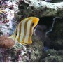 saltwater fish - chelmon rostratus - copperband butterflyfish stocking in 52 gallons tank - my favorite fish in my tank. Chelmon Rostratus