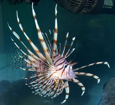 saltwater fish - pterois volitans - volitan lionfish stocking in 180 gallons tank - Lion Fish