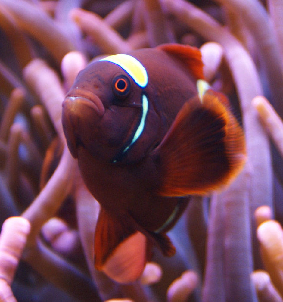 saltwater fish - premnas biaculeatus - yellowstripe maroon clownfish stocking in 65 gallons tank - Gold Stripe Maroon
