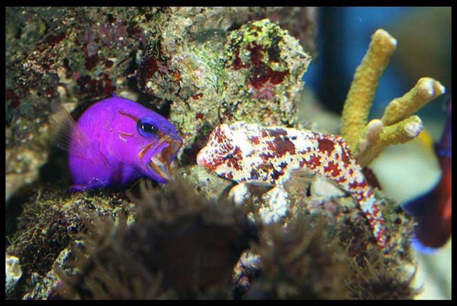 saltwater fish - gramma loreto - royal gramma basslet stocking in 35 gallons tank - Royal Grammar defending his cave from Scooter Blenny