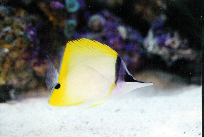 saltwater fish - forcipiger flavissimus - yellow longnose butterflyfish stocking in 40 gallons tank - Longnose butterfly