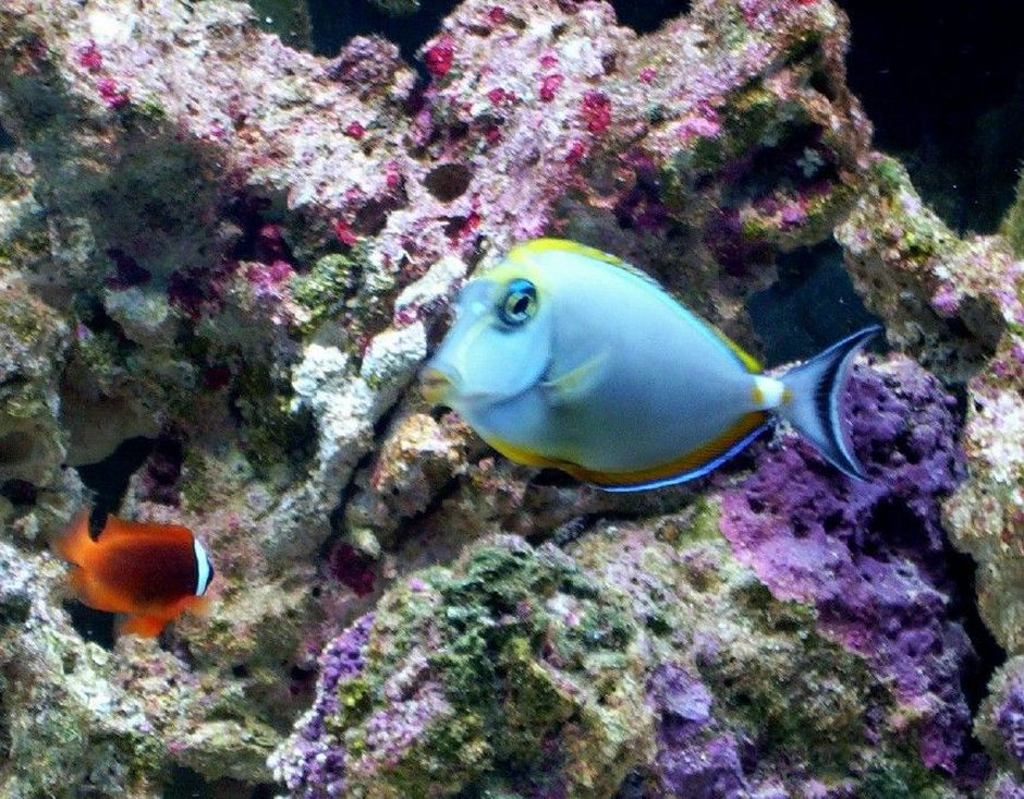 saltwater fish - naso elegans - naso blonde tang stocking in 55 gallons tank - MY NASO BLONDE TANG AND TOMATO CLOWN FISH
