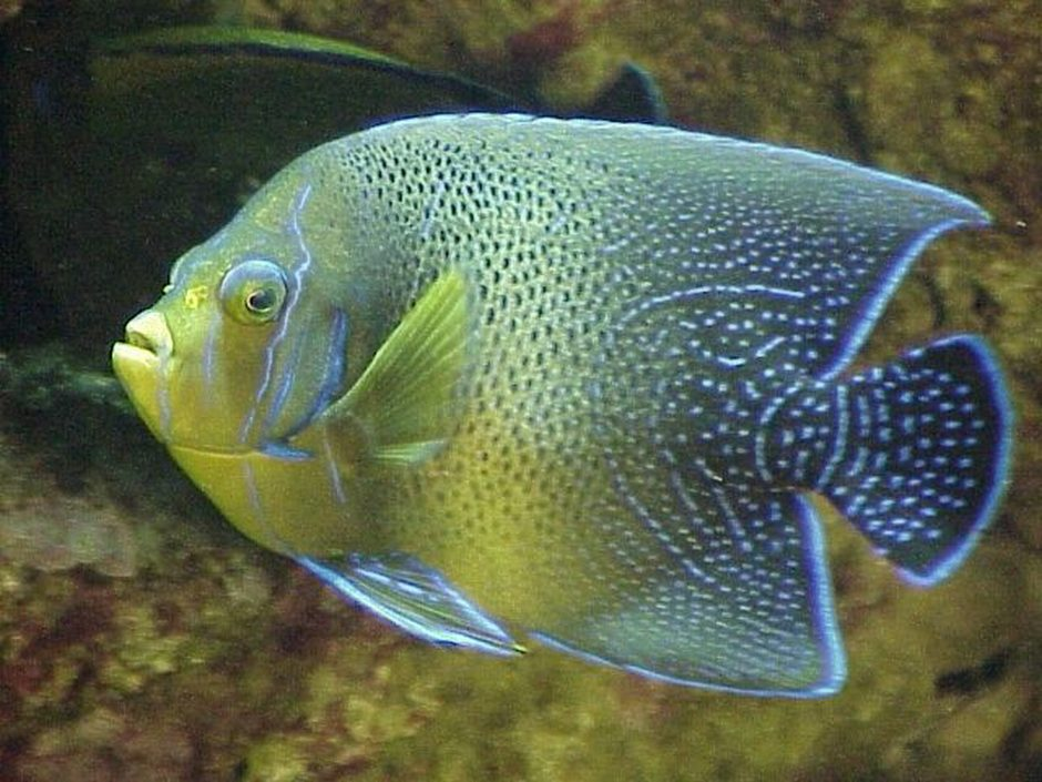 koran angelfish pomacanthus semicirculatus photos ForFish Compatible With Angelfish