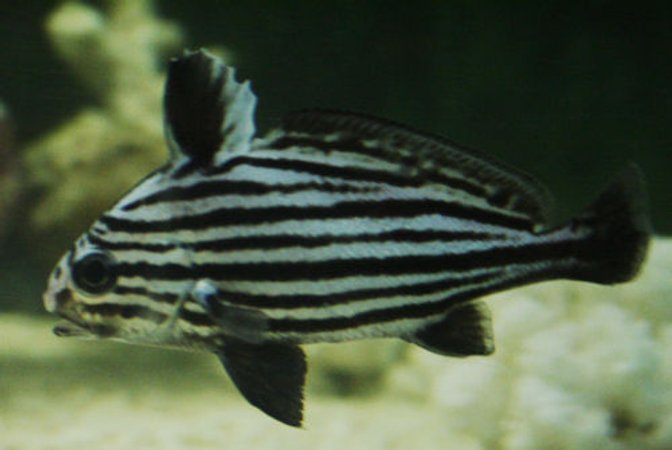 saltwater fish - equetus acuminatus - hi-hat stocking in 220 gallons tank - High Hat or Jack knife fish