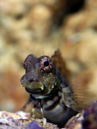 saltwater fish - salarias ramosus - starry blenny stocking in 90 gallons tank - Blenny