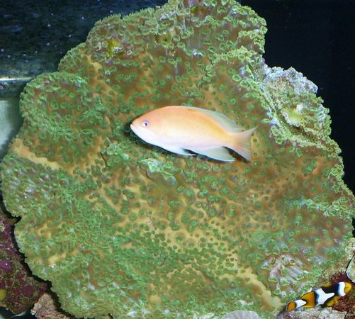 saltwater fish - pseudanthias parvirostris - sunset anthias stocking in 110 gallons tank - coral