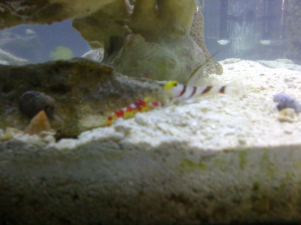saltwater fish - stonogobiops dracula - dracula goby stocking in 29 gallons tank - Randall's Pistol Shrimp & Blackray Shrimp Goby Pair in my 55
