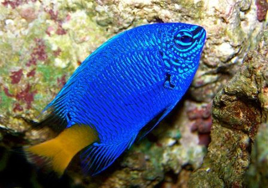 saltwater fish - chrysiptera parasema - yellowtail damselfish stocking in 90 gallons tank - yellow tail damsel