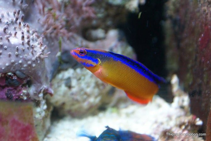 saltwater fish - pseudochromis aldabraensis - neon dottyback stocking in 66 gallons tank - My Neon Dottyback
