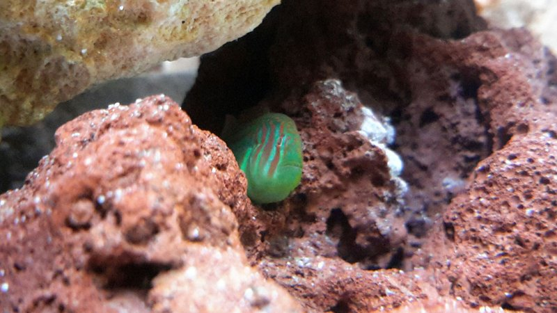saltwater fish - gobiodon atrangulatus - clown goby, green stocking in 125 gallons tank - Green Clown Goby