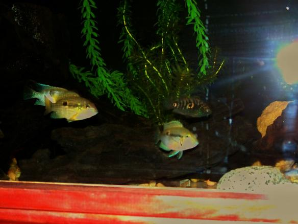 Photo #3 - Sumo Sam The Flowerhorn, Already Mean At 2 Inches