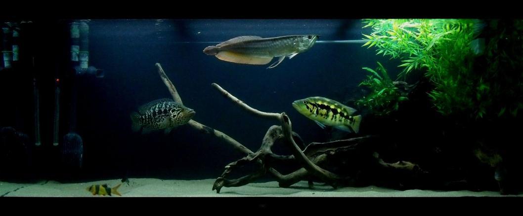 Photo 1 Wolf Cichlid Parachromis Dovii