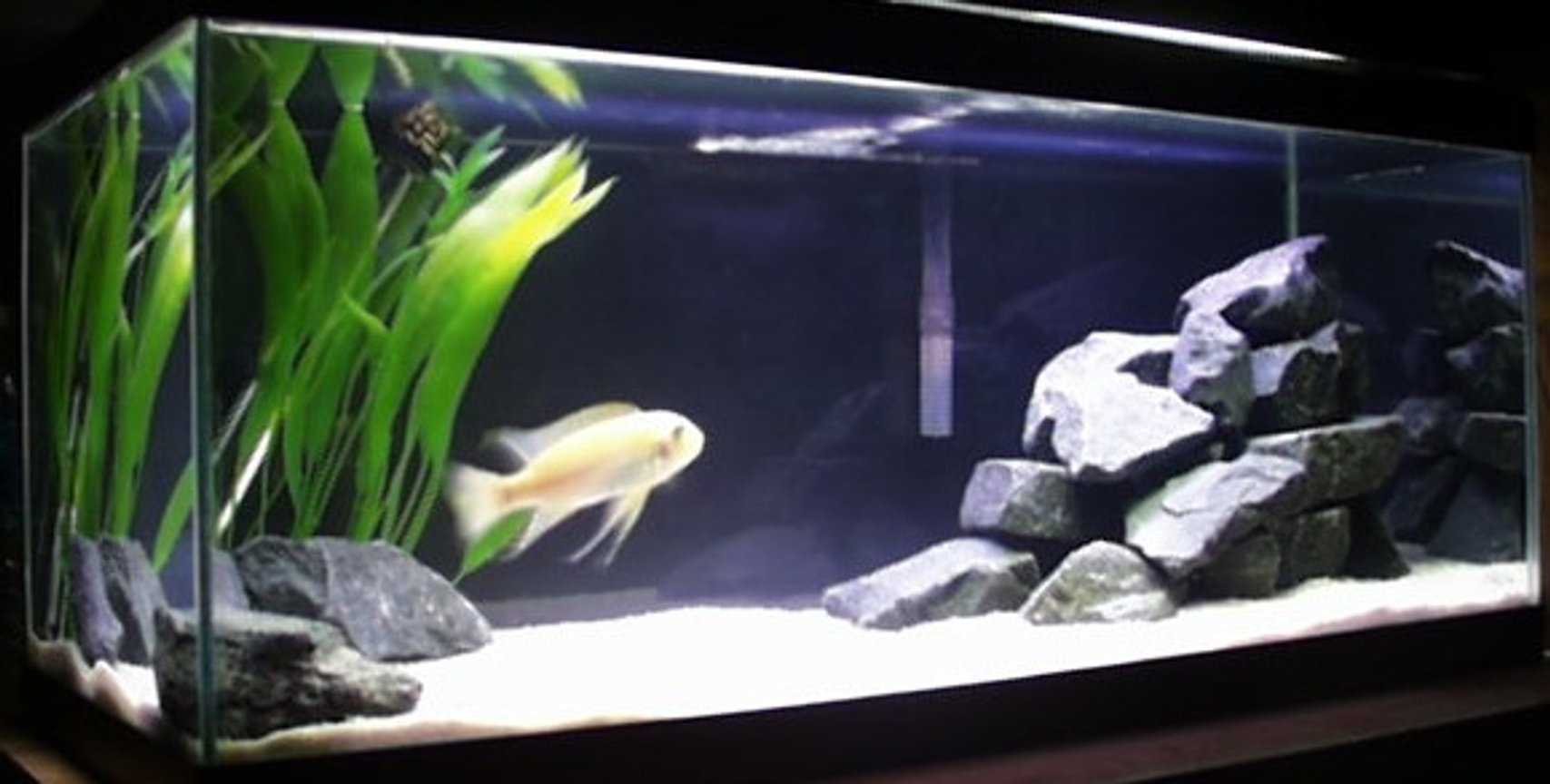 freshwater fish tank (mostly fish and non-living decorations) - This is my 20 gallon cichlid tank.
