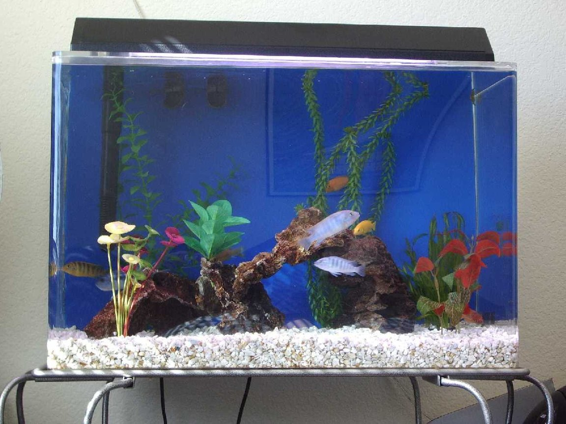 20 gallons freshwater fish tank (mostly fish and non-living decorations) - This is my 20 gal. Cichlid tank. It's home to eight Cichlids of six variety. There is one real plant the rest are fake. Enjoy!