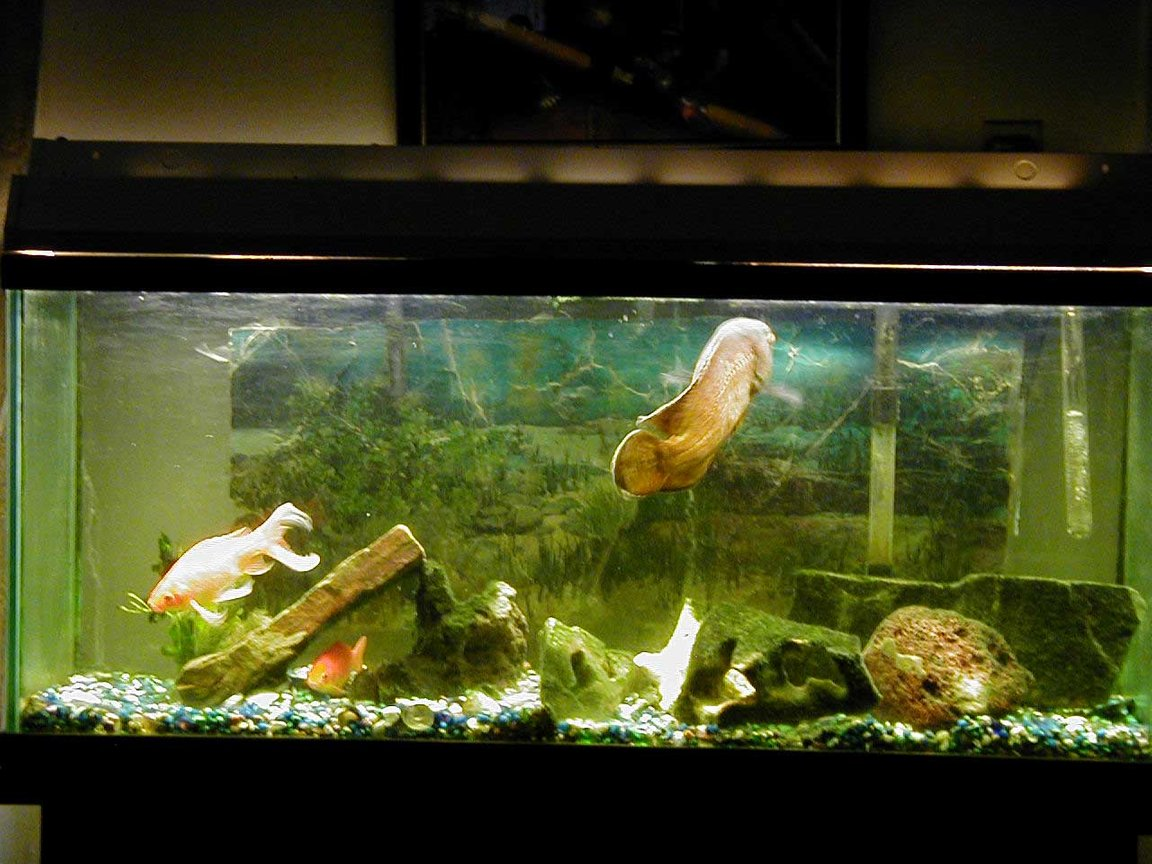 55 gallons freshwater fish tank (mostly fish and non-living decorations) - Ocsar Myers age 8yrs its his b-day
