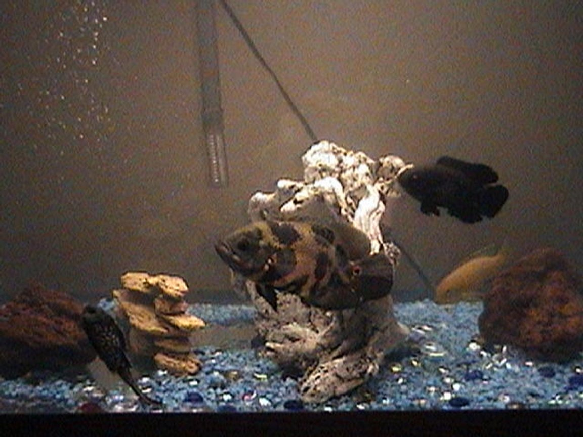 "30 gallons freshwater fish tank (mostly fish and non-living decorations) - 30 gallons i have 2 oscars 1is7"" the other is 3 1/2"" ,one african chill.4"" and 1 alga eater6"" every time i pass by close to it the get exited, i fitthem 2 times a day i wander if i can add a alvino oscar ?..."
