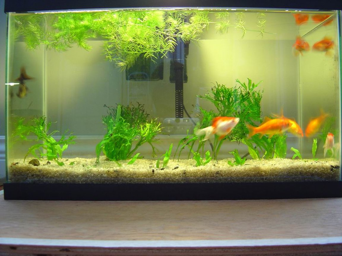 150 gallons freshwater fish tank (mostly fish and non-living decorations) - goldfish, java fern