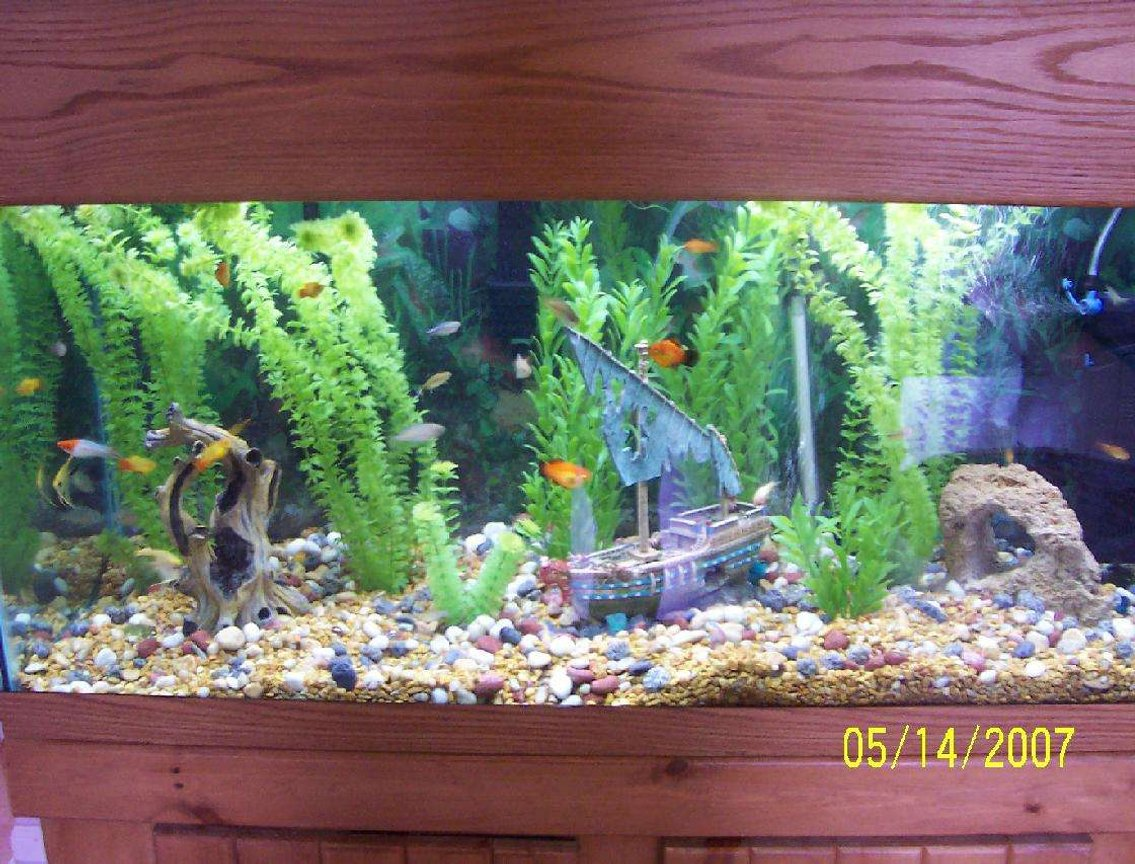 80 gallons freshwater fish tank (mostly fish and non-living decorations) - 80 gallon: Tropical Community: Temp: 80 Fish: 1.) 5 Australian Rainbowfish: 1 proved pair 2.) 1 koi swordtail male (NOT albino)- very nice 3.) 1 brick red swordtail who was originally a pregnant female who had fry and then actually changed its sex- swordtails can do this when they are still young! 4.) 1 high fin platy male, 3 red female platies 5.) 3 albino corydora catfish 6.) 1 veil marble angelfish, 1 regular marble angelfish - Maybe a pair 7.) 6 silver tip tetras 8.) 5 blue tetras 9.) 2 bolivian rams- might be a pair I got lucky with pairs! All my fish get along great. I highly recommend the Bolivian rams, angelfish and Australian Rainbow fish. They are a joy to watch and have great personalities.