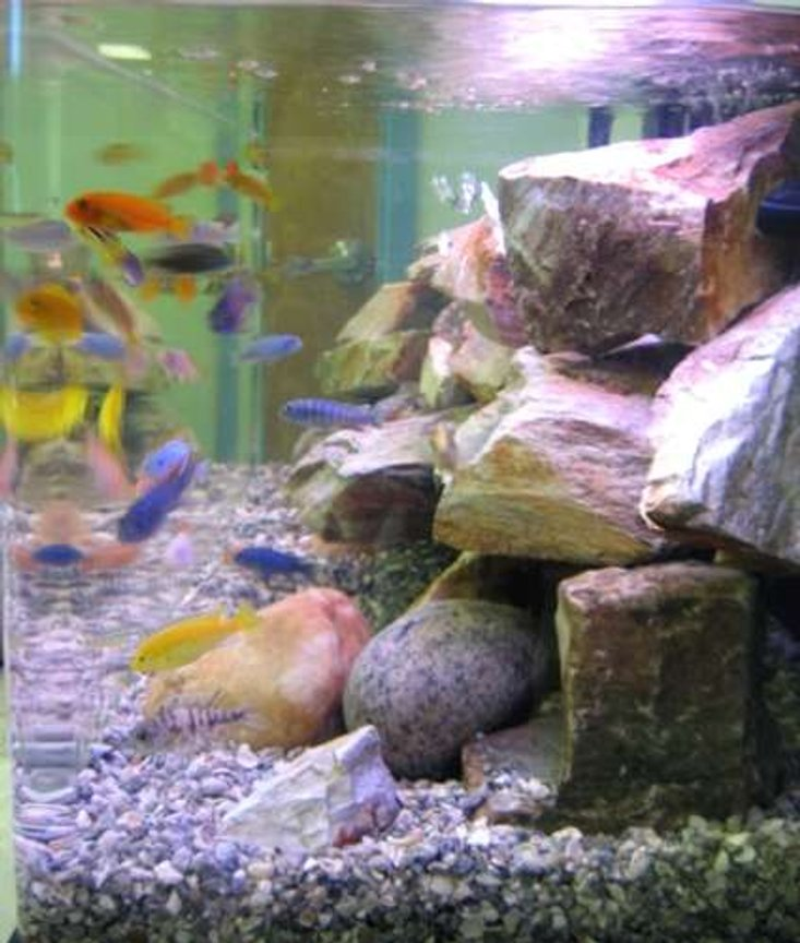 65 gallons freshwater fish tank (mostly fish and non-living decorations) - 65 gal assorted African Cichlid tank