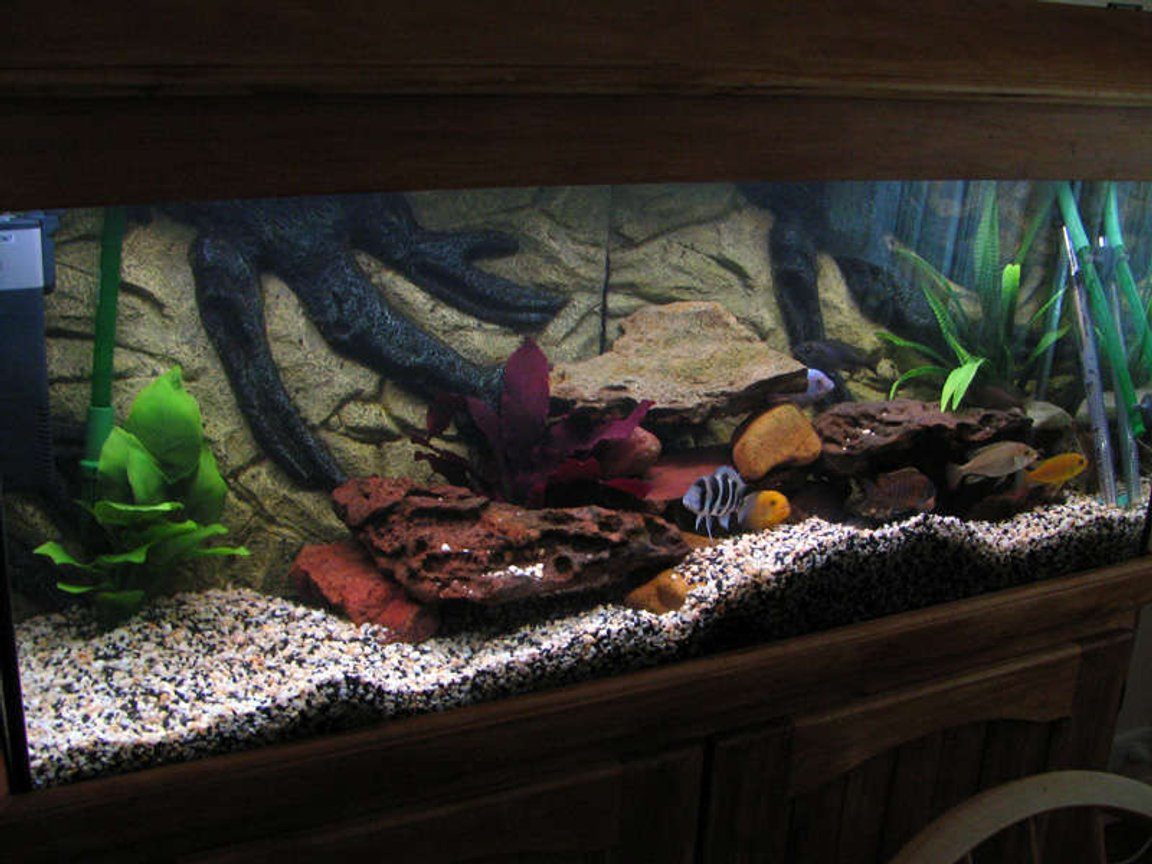 55 gallons freshwater fish tank (mostly fish and non-living decorations) - My cichlid tank with some new plants.