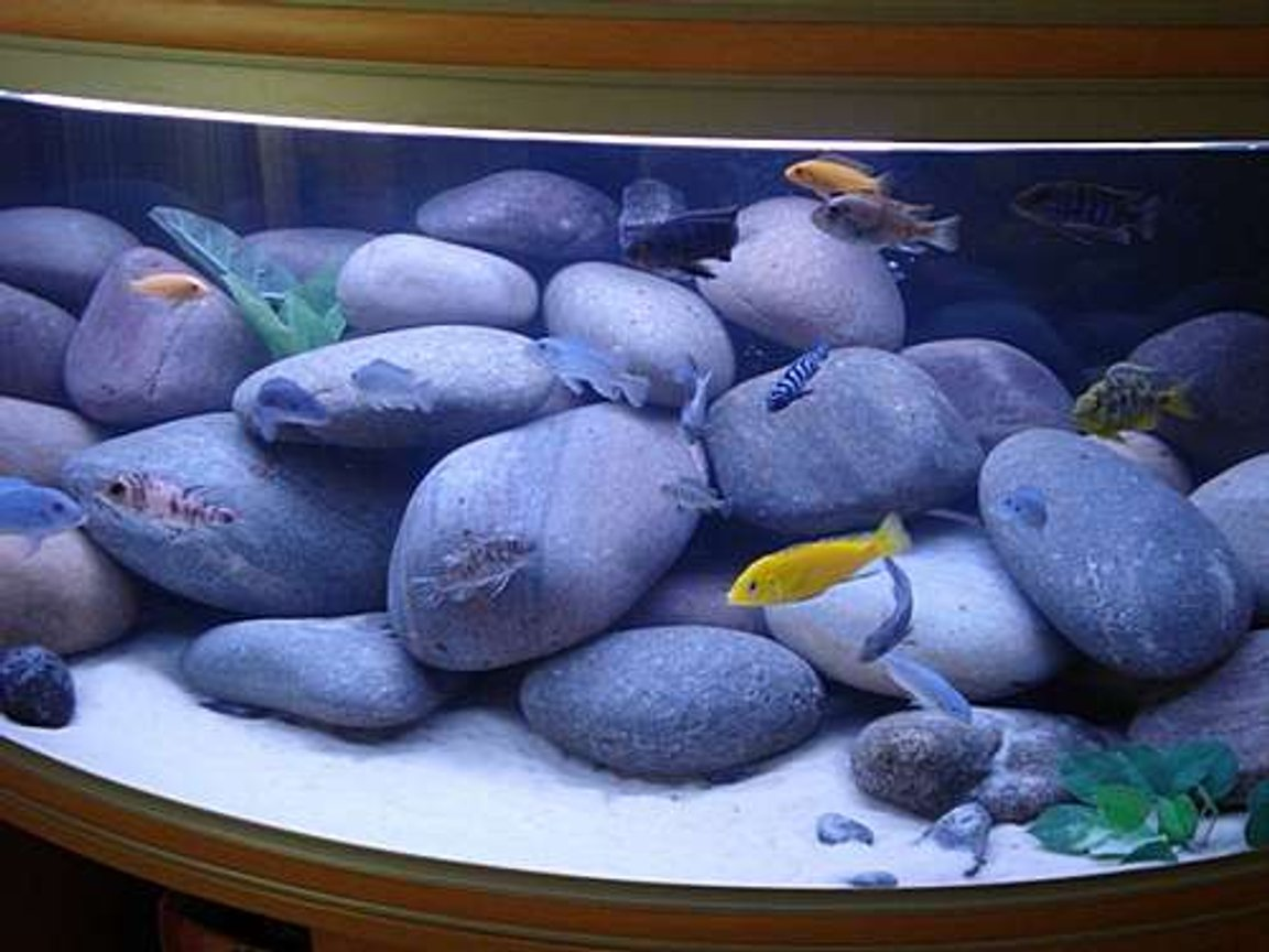 76 gallons freshwater fish tank (mostly fish and non-living decorations) - My Cichlid tank