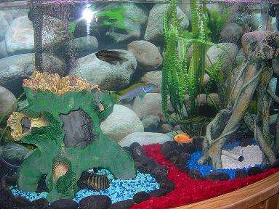 46 gallons freshwater fish tank (mostly fish and non-living decorations) - Our Cichlid Tank.