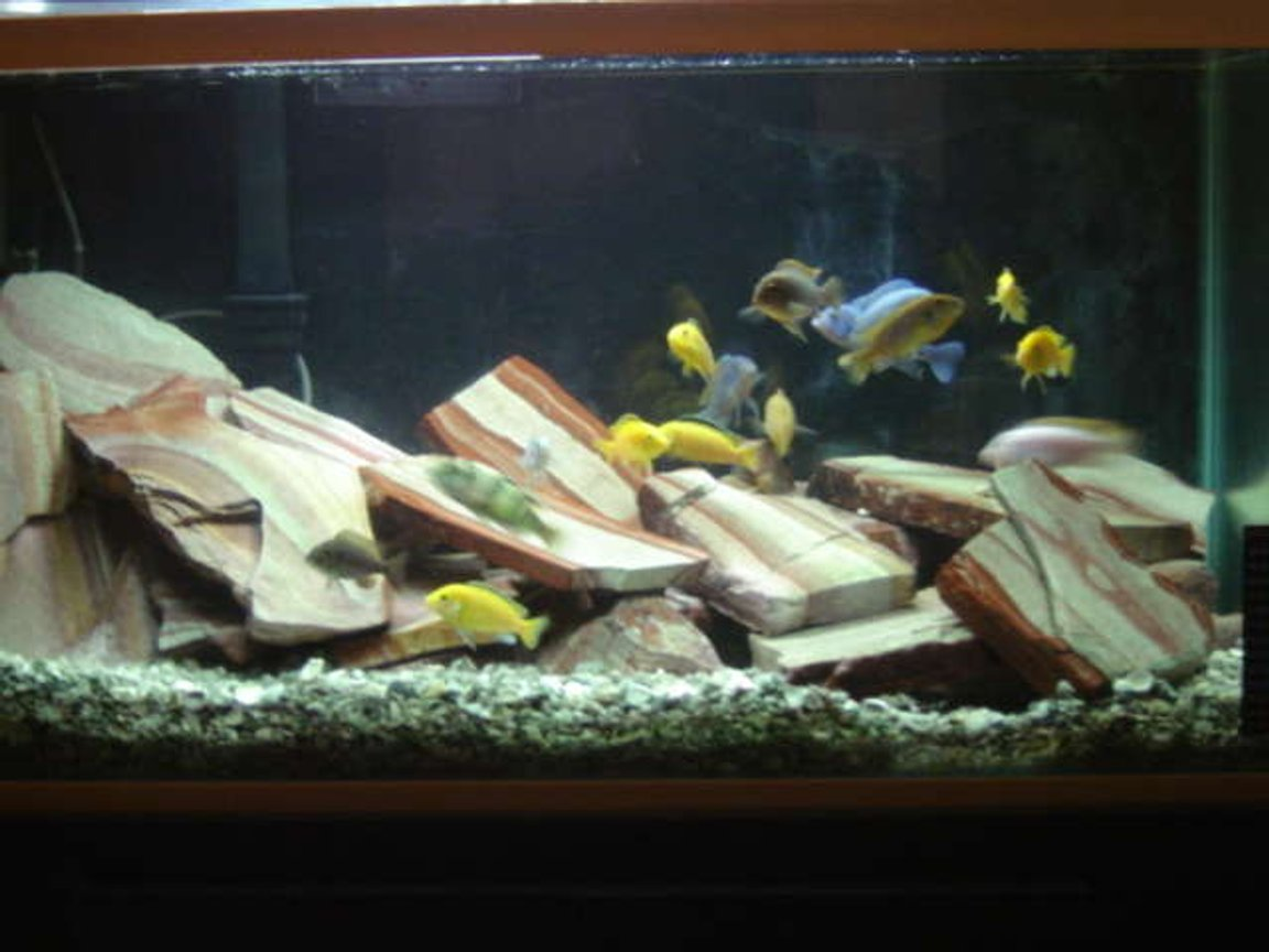 46 gallons freshwater fish tank (mostly fish and non-living decorations) - African Cichlids