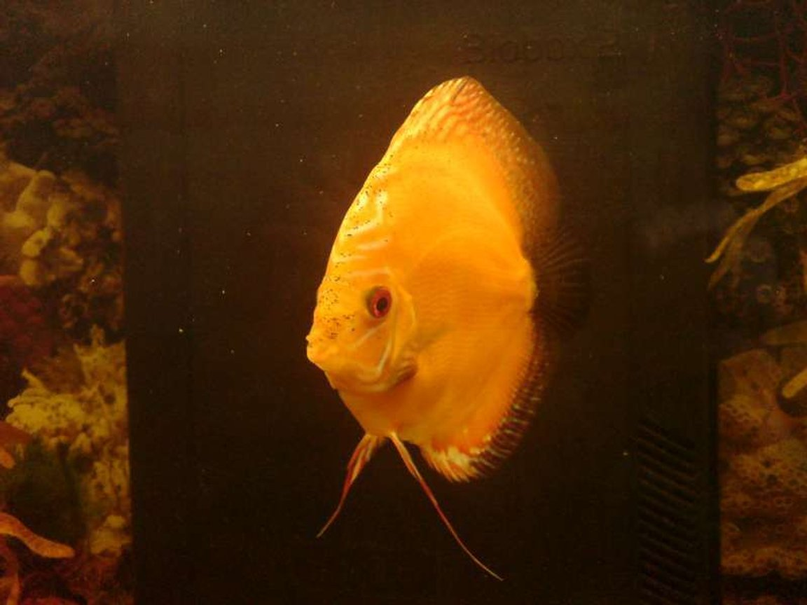 40 gallons freshwater fish tank (mostly fish and non-living decorations) - Discus Marlboro Red